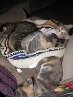 Jasmine and Maya in a cat bed with Mia next to them.
